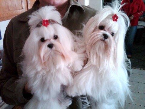Maltese Puppies 1