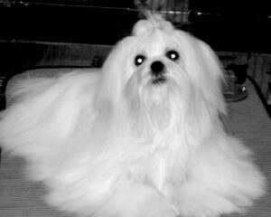China Doll Maltese Stud