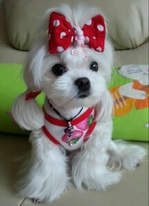 Minnie Maltese