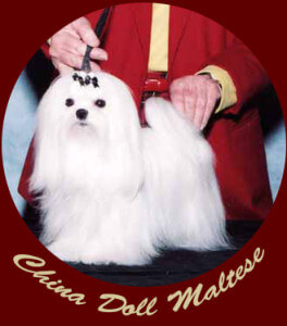 China Doll Maltese dog