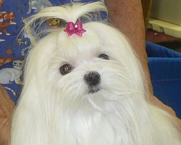 Maltese Breeders | China Doll Maltese | Glendale, AZ